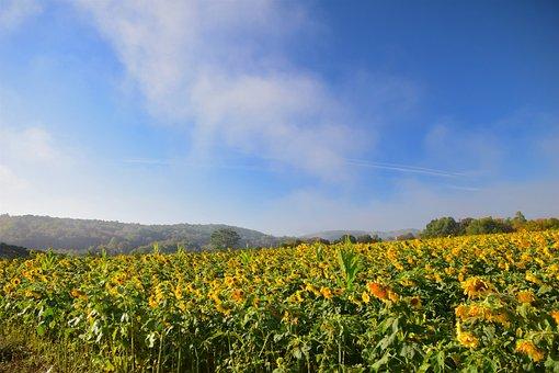Sunflowers, Field, Mist, Yellow, Nature, Rural