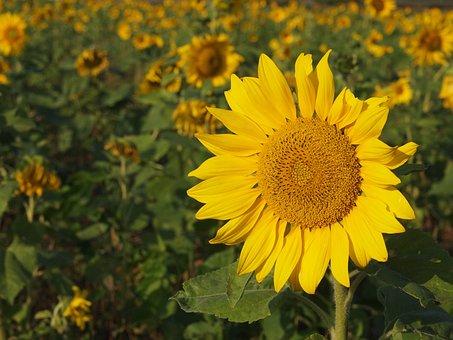 Sunflower, Yellow, Sunny Farm