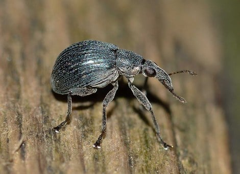 Weevil, Insects, Beetle