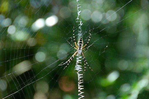 Garden Spider, Yellow, Black, Color, Garden, Web