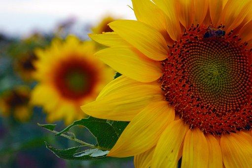 Sunflower, Nature, Beauty, Peace, Peaceful, Yellow