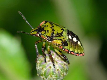 Hemiptera, Insects, Nezara, Viridula, Young