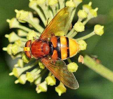 Insects, Brine Fly, Volucella, Zonaria