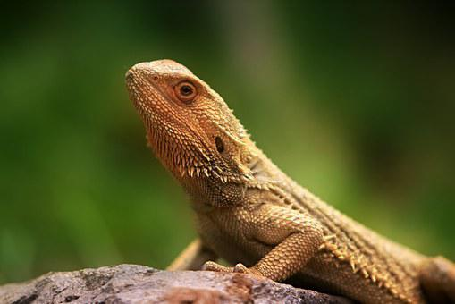 Lizard, Fauna, Creature, Animal, Animal World, Nature
