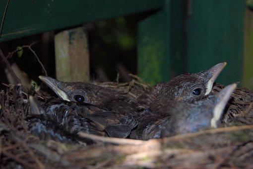Blackbird Nest, Blackbirds, Nest, Chicken