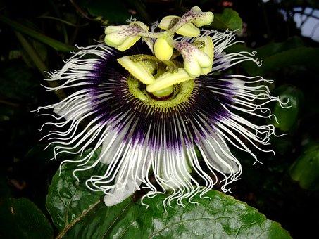 Flower, Passion Fruit, Branch, Passion Flower
