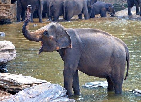 Elephant Bath, Elephant, Pregnant Elephant
