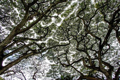 Tree Canopy, Forest, Nature, Natural, Canopy, Green