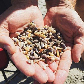 Clam, Hands, Myrtle Beach, Shell, Beach, Crops, Harvest