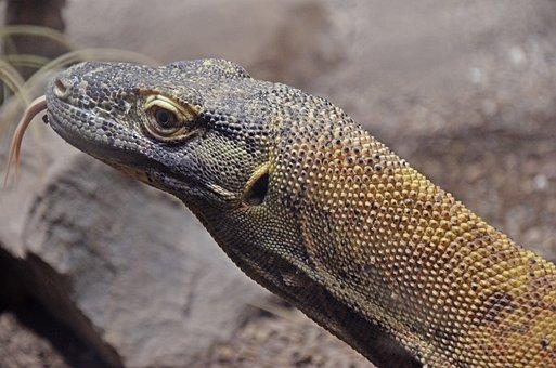 Komodo Dragon, Island Komodo, Tongue, Scavengers