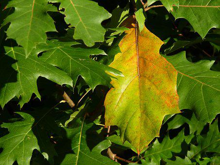 Leaf, Leaves, Green, Yellow, Plant, Tree, Maple