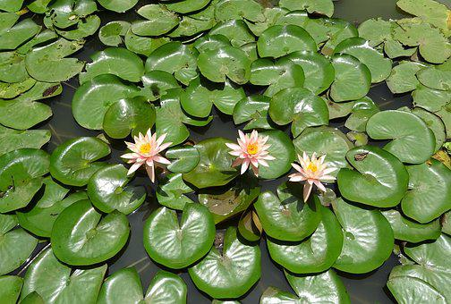 Flower, Water Lily, Nymphaea Colorado, Peach Glow