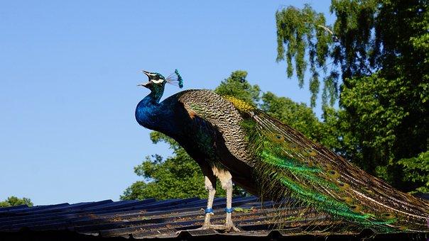 Pavo Cristatus, Peacock, Male, Beak Open, Squeals