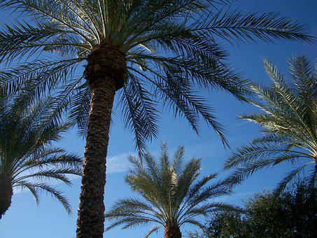 Canary Island Date Palm, Palm Tree, Scottsdale, Pool