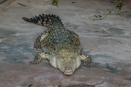 Crocodile, Tooth, Reptile, Dangerous, Predator, Animal