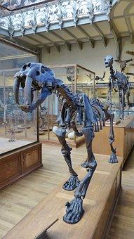 Animal, Urtier, Tiger, Saber-toothed Tiger, Skeleton
