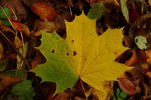 Maple Leaf, Autumn, Yellow, Fall, Autumn Leaves, Nature