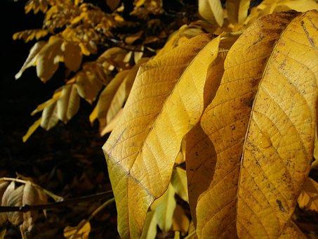 Leaves, Leaf, Autumn, Yellow, Walnut, Plant