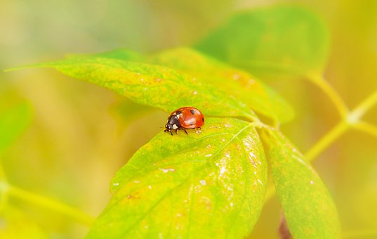 Septempunctata, Insect, The Beetles, Leaf, Animals