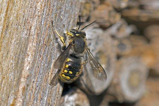 Wool Bee, Garden Wool Bee, Solitary Bee, Bee