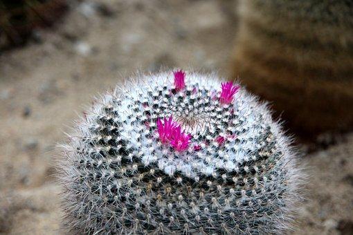 Cactus, Mammillaria, Mammillaria Laui, Plant, Flowers