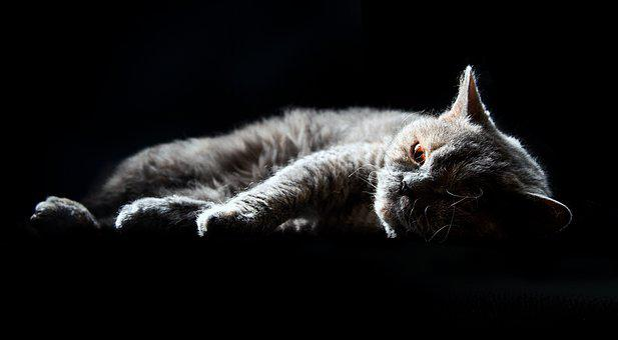 Cat, Selkirk Rex, British Shorthair, Domestic Cat