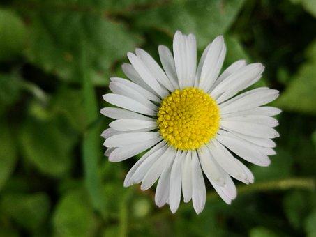Flower, Grass Margriet, Spring, Summer