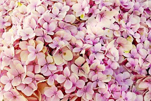 Hydrangea, Flowers, Flower, Nature, Beautiful, Flora