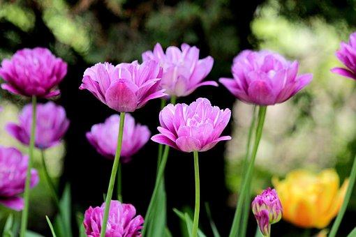 Tulips, Flowers, Spring, Nature, Bloom, Garden