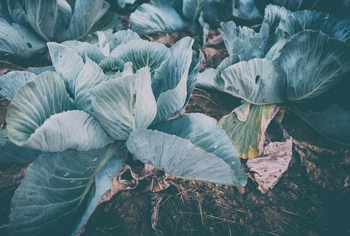 Kohl, White Cabbage, Food, Herb, Vegetables, Healthy