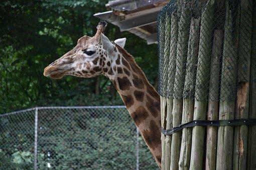 Ouwehands Dierenpark, Giraffe, Zoo