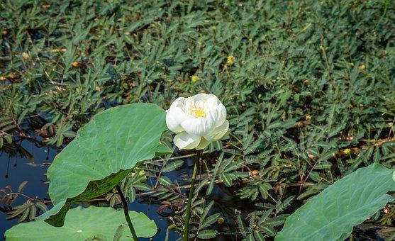 Flower, Lotus, Nature, Summer, Green, Plant, Blossom