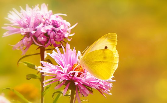 Bielinek Rzepnik, Insect, Butterfly Day, Flowers