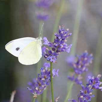 Butterfly, Lavender, Nature, Insect