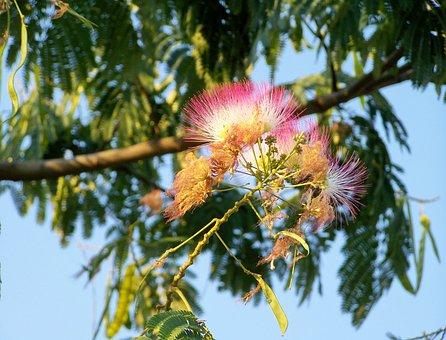 Japanese Selyemakác, Mimózafa, Plant