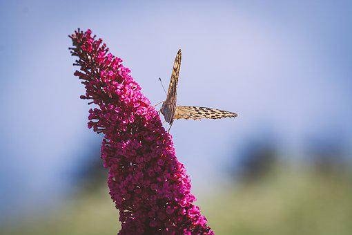 Butterfly, Edelfalter, Flight Insect, Lilac