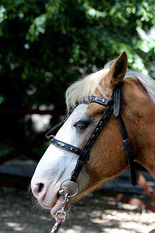 Horse, Animal, Head, Lips, Bridle, Harness