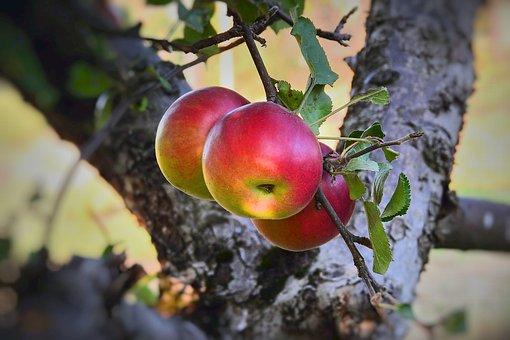 Apples, Apple, Tree, Garden, Mature, Vitamins
