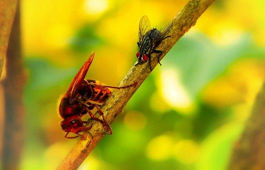 European Hornet, Insects, Muchówka, Curiosity, Sprig