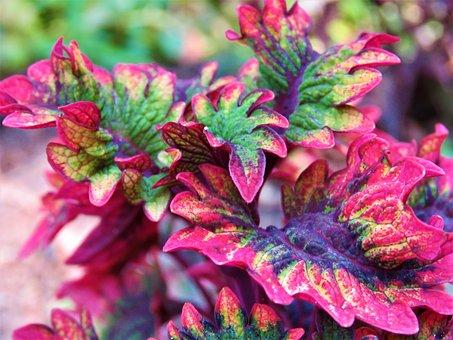 Coleus, Plant, Leaves, Colorful, Nature, Garden, Summer