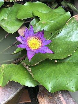 Pathum, Lotus, Plant Science, Water Plants, Purple