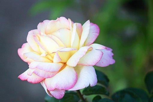 Rose, Pink, White, Tender, Rose Bloom, Pink Rose
