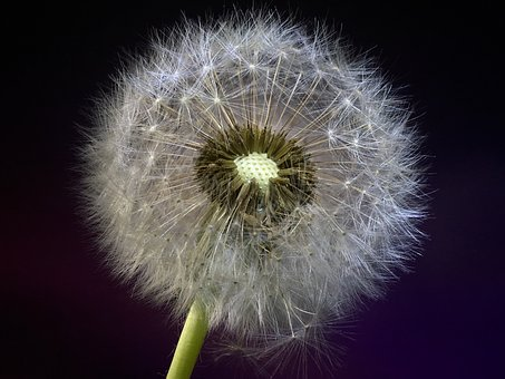 Dandelion, Seeds, Flower, Plant, Nature, Colorful