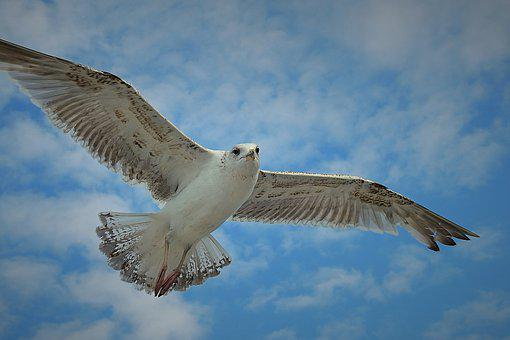 Flight, Common Tern, Birds, Freedom, Sky