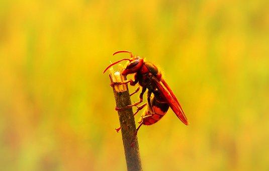 European Hornet, Insect, Work, Socket, Wood, Sprig