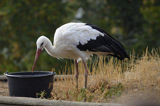 Stork, Feather, White Stork, Plumage, Bird