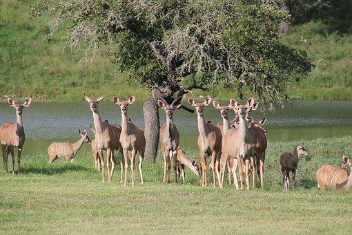 West Texas Kudu, Texas Deer, Texas Wildlife, Kudu