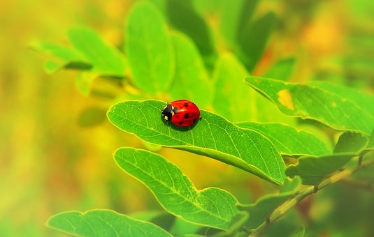 Septempunctata, Insect, The Beetles, Animals, Nature