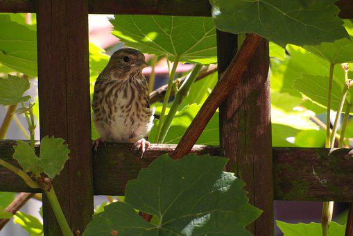The Sparrow, Bird, Sitting, Hidden In The Hollow