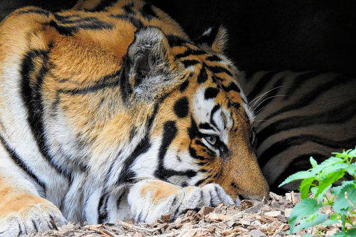 Tiger, Siberian-tiger, Big Cat, Predator, Graceful, Zoo